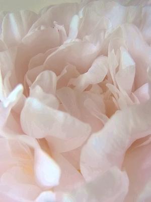 flower20140518peony3.jpg