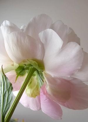 flower20140518peony4.jpg