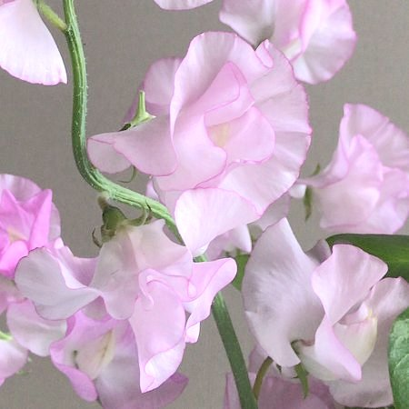 flower20180120_sweatpea3.jpg