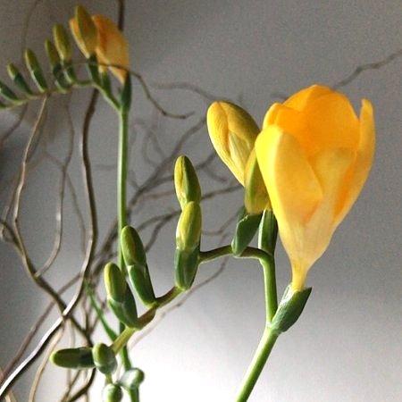 flower20180219freesia_3.jpg